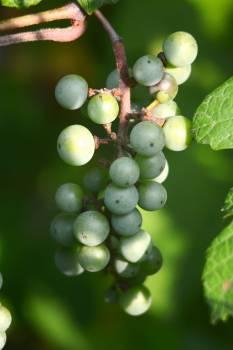 Green Round Fruits #47988