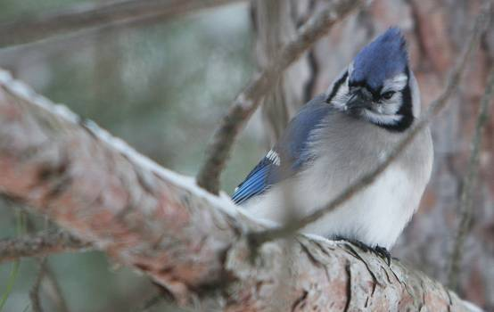 White Blue and Black Bird on Brown Tree Branch #48046