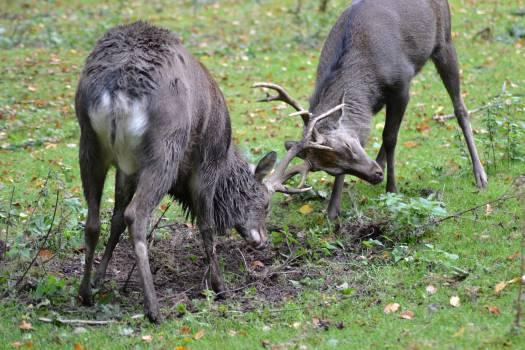 2 Reindeer on Grass Field #48275