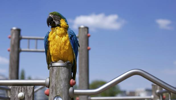 Scarlet Macaw on Brown Wooden Framed Metal Railing during Daytime in Macro Photography Free Photo