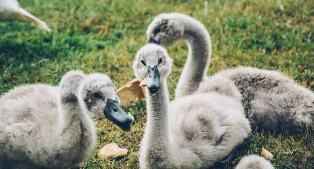 Ducklings birds beaks animals #48472