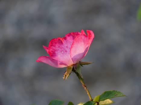 Red Rose Petals Free Photo