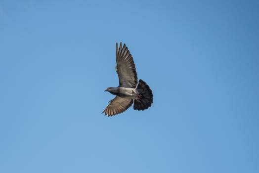Gray and Black Bird Flying #48560