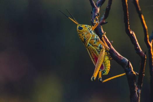 Wild wildlife closeup grasshopper #48720