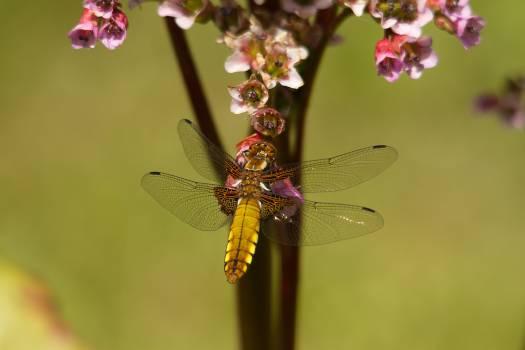 Brown Dragonfly Near Flower #48756