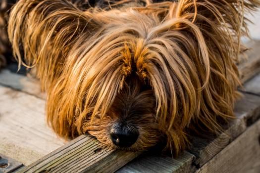 Tan Long Coat Dog Eyes Covered #48772
