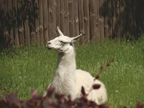 White Llama Lying on Green Grass Under Sunny Sky during Daytime #48794