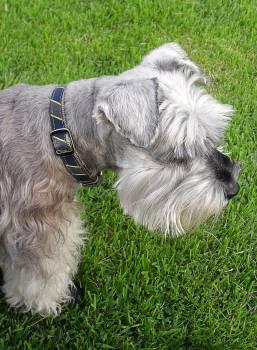 White and Grey Long Coat Dog #48856