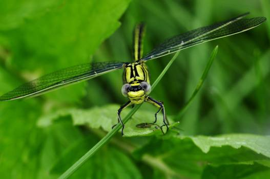 Green Dragon Fly #48933