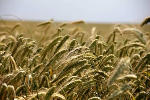 Wheat Field #49281