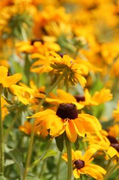 Yellow Petaled Sunflower #49307