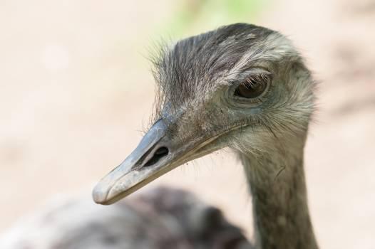 Ostrich nandu aminal beak #49410