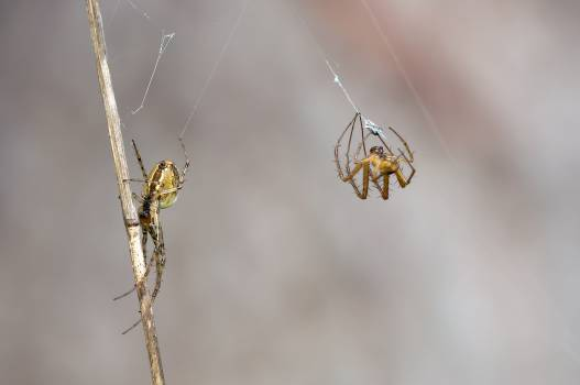 2 Yellow Orb Weaver Spider Weaving Web #49485