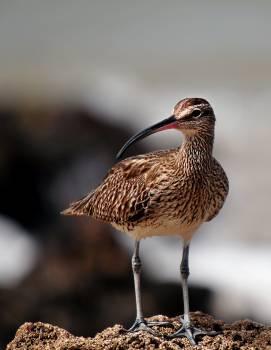 Animal birds fauna whimbrel #49681