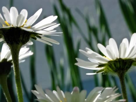 White Petaled Flower #49728
