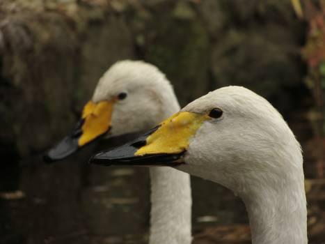 2 White Yellow and Black Ducks #49816