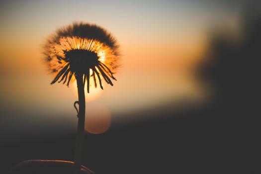 Silhouette of Dandelion Behind Sun #49836