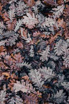 Tea Leaf Plant #50486