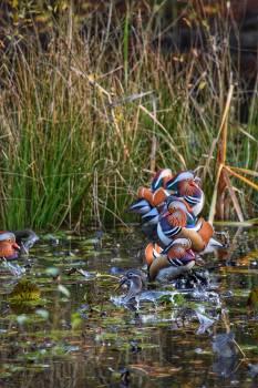 Duck Aquatic bird Drake #50883