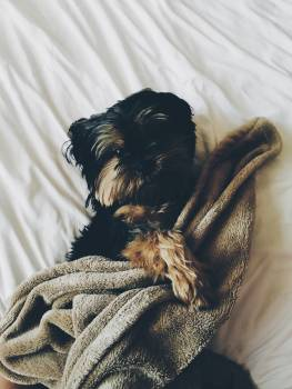 Black and Brown Yorkie Laying on Bed With Brown Towel #51275
