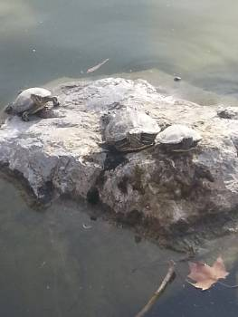 Turtle family Free Photo