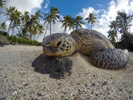 Turtle Sea turtle Loggerhead #51399