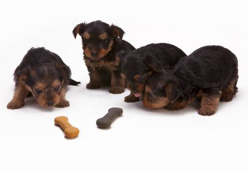 Black and Tan Yorkshire Terrier Puppy #51605