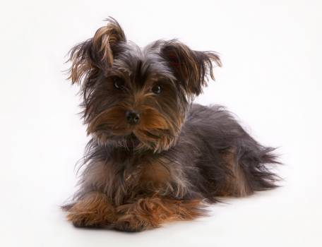 Yorkshire terrier Terrier Hunting dog #51606