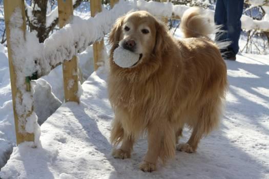 Canada golden retriever ottawa snow #51954