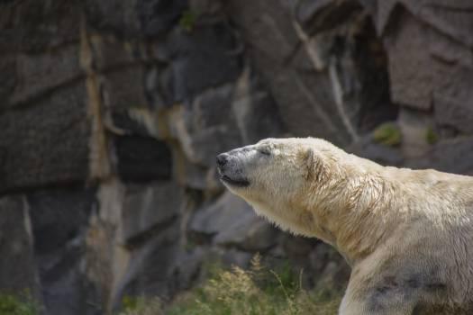 Polar bear #52212