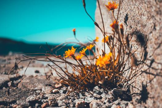 Yellow Petaled Flower Besides Brown Stone Free Photo