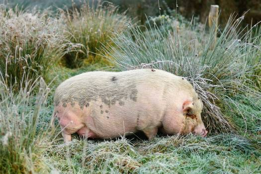 Animal boar bristles creature #52952