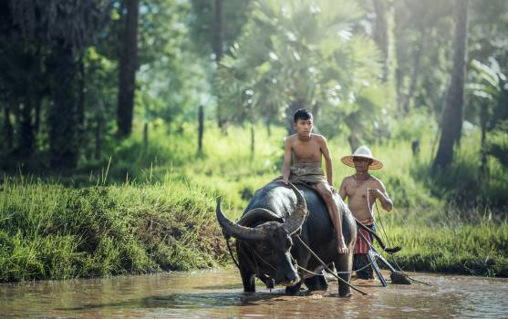 Agriculture asia buffalo by nature Free Photo