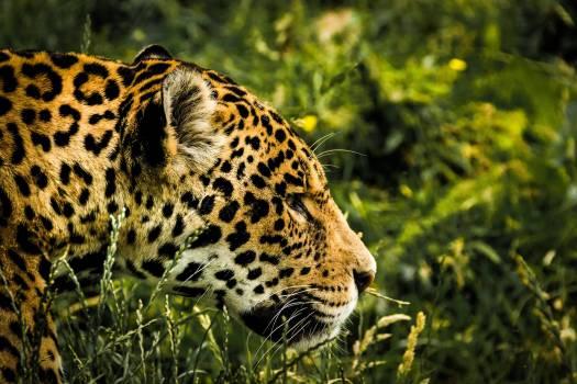 Animal big big cat blur #53019