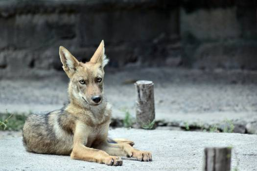 Animal coyote creature natural #53036