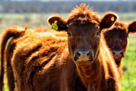 Animal animals cow cow animal #53099