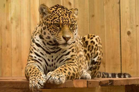 Animal big big cat blur #53215