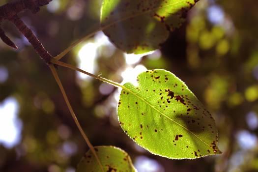 Green leaf leaf pear leaf spring leaf #53712