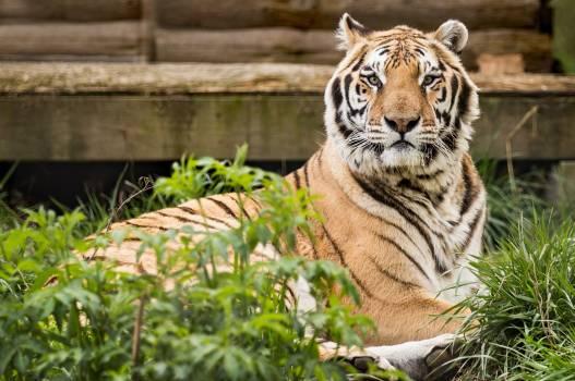 Animal carolina tiger rescue cat pittsboro nc #53857