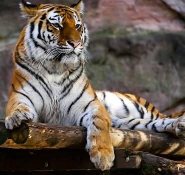 Animal animal photography big cat feline #53883