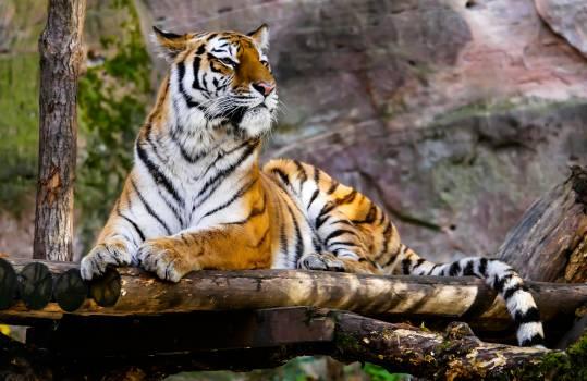 Animal big cat jungle safari #53885