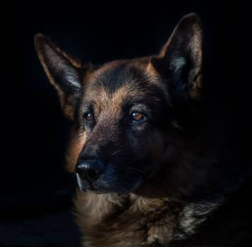Animal canine cute dog #53906