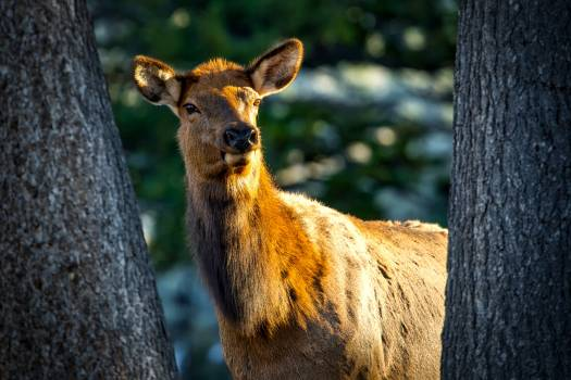 Animal closeup cow elk female #53944