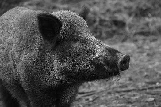 Animal black and white pig wild animal #53966