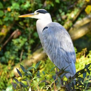 Bird blue heron nature #53969