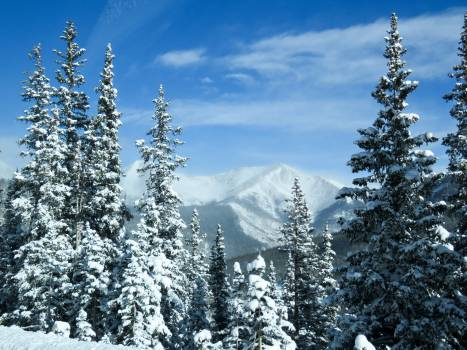 Christmas cold colorado evergreens Free Photo