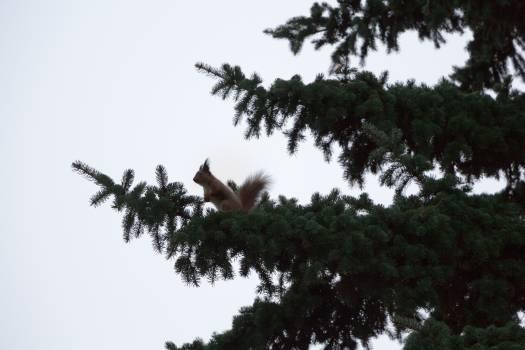 Branch pine spruce squirrel #55505