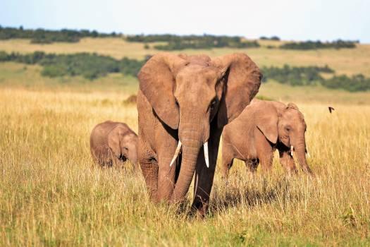 Animals elephant elephants kenya Free Photo