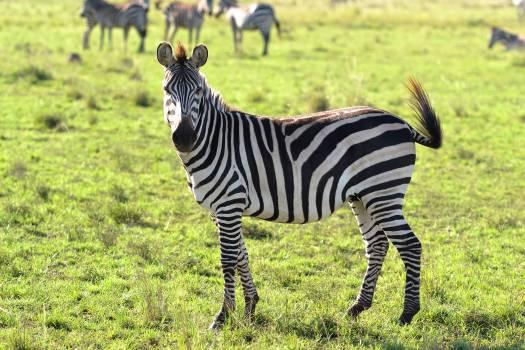 Animals wild animal zebra zebras Free Photo
