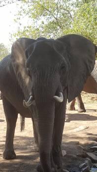 Elephant Mammal Indian elephant #55728